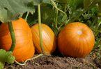 Pumpkin vs Squash